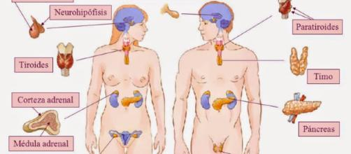 Puzzle de Sistema Endocrino , rompecabezas de - puzzlesjunior.com