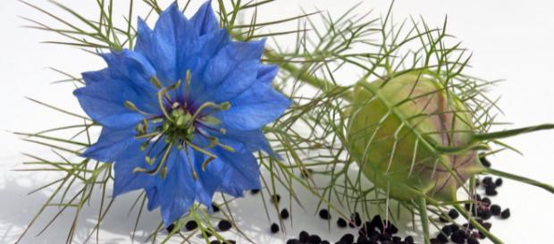 I semi di Nigella sativa sono conosciuti ed apprezzati da millenni. La scienza moderna ne ha potuto evidenziare proprietà e virtù insospettabili.