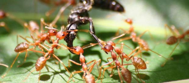 La guerra de las hormigas: matan, saquean y hasta toman esclavos ... - lainformacion.com