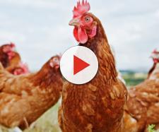 Allarme Salmonella: 18.000 galline macellate