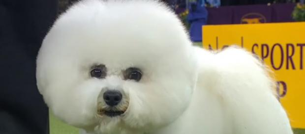 Flynn- the Bichon Frise [Image source: Fox Sports/YouTube]