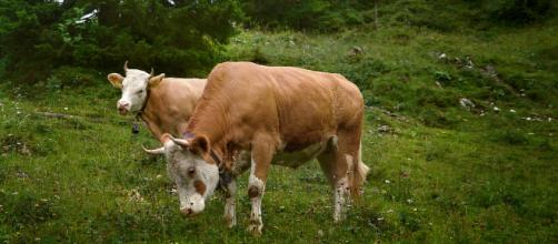 Cows similar to the breed of cow that escaped being slaughtered - Flickr