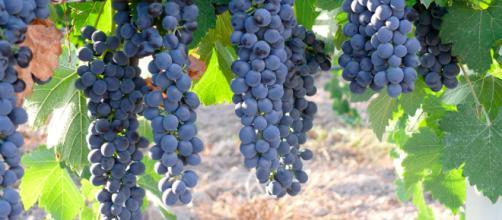 La Viña puede resistir la sequía.