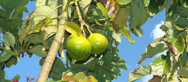 Las frutas son de suma importancia en la vida del hombre.