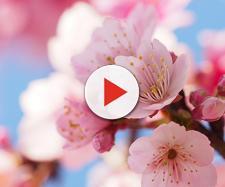 Alberi in fiore durante la primavera