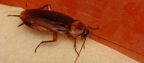 Las cucarachas, su importancia médica y su control