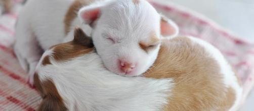 Llevar a los cachorros a casa demasiado temprano causa problemas de comportamiento.