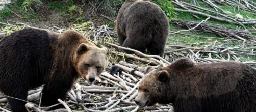 El refugio que salva a los osos pardos huérfanos o heridos de ... - com.uy