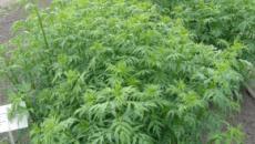 Cultivo de lúpulo: Una planta exclusivamente femenina.