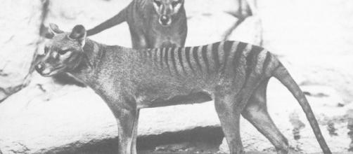 Tigre de Tasmania revelado en 3D