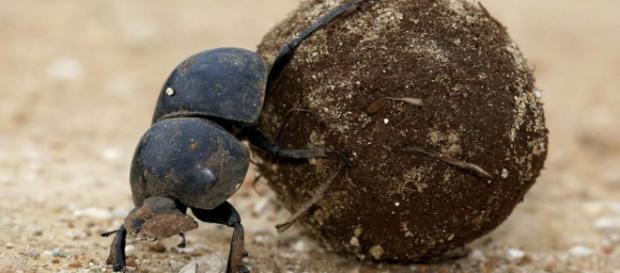 El escarabajo pelotero se orienta con las estrellas