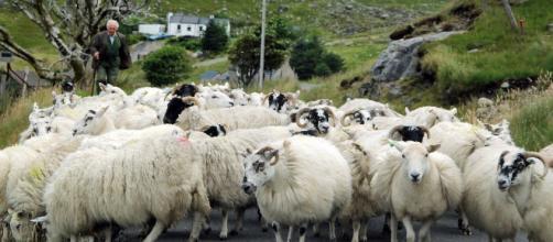 Nuevas razas de ovejas en Escocia.