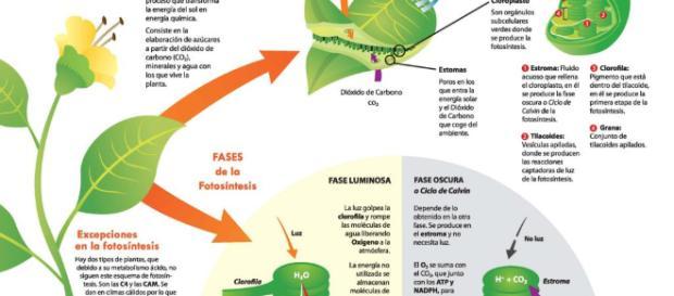 Fotosíntesis — WikiSabio - wikisabio.com