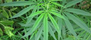 Cannabis Image credit - James St. John | Flickr