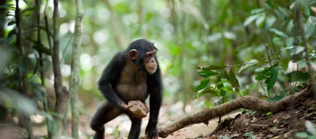 El chimpancé Nigeria-Camerún fue visto en varios lugares dentro del Parque Nacional Gashaka Gumt
