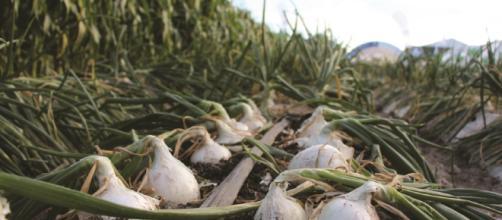El mejor método de siembra para las cebollas.