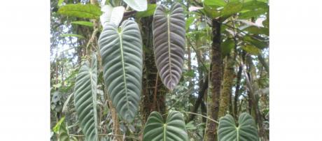 The Family Araceae of Colombia-Own Work- Noel Calvert
