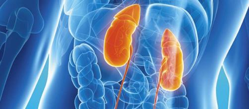 El sistema urinario tiene una gran responsabilidad en el funcionamiento del organismo humano. - infobiologia.net