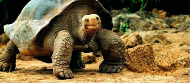 La tortuga terrestre de Galápagos es la más grande del mundo. Puede pesar más de 200 kg, el Galápago macho es más grande que su hembra.