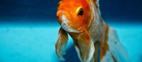 Datos interesantes sobre peces de colores.
