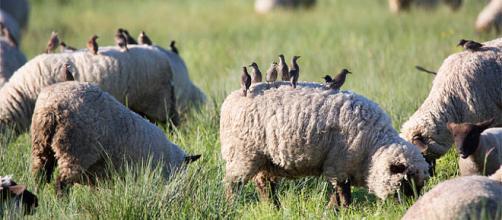 El ganado y las ovejas crean un hábitat para insectos y pájaros.