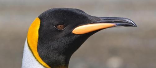 70% de los Pingüinos Rey podrían llegar a desaparecer por los cambios repentinos en el ecosistema