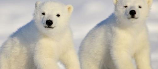 Polar Bear Day: la giornata dedicata alla tutela degli orsi polari