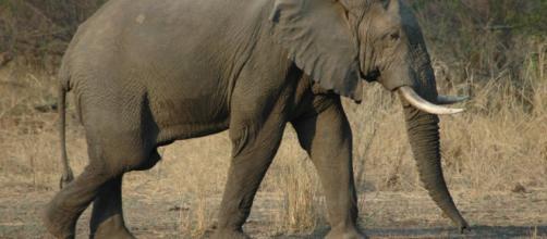 Walking elephant: Image via wikimedia commons/Jpatokal at English Wikivoyage