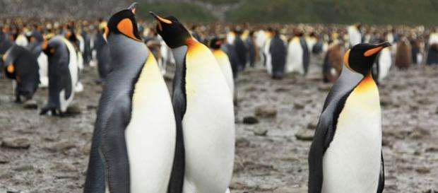 King Penguins at Salisbury Plain. - [Image credit – Liam Quinn, Wikimedia Commons]