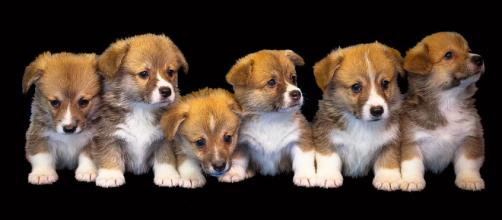 Generic photo of puppies. (Image credit -Kirgiz03-pixabay.com)
