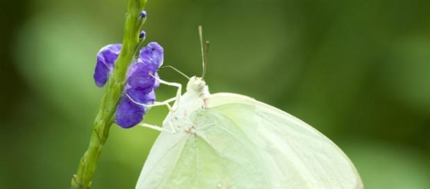 Mariposa blanca y su daño a las plantas.