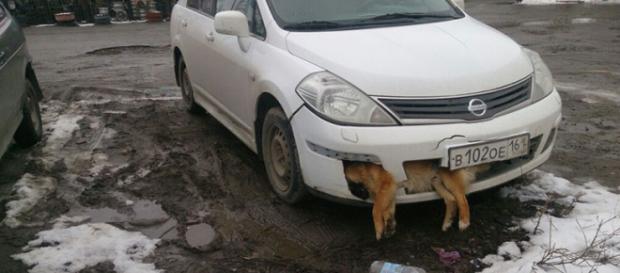 Un politician din Rusia a omorât un câine și l-a lăsat patru zile blocat în masca mașinii - Foto: Daily Mail (© EAST2WEST NEWS)