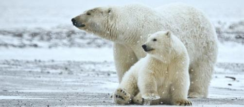 Polar bear sow and cub (Image credit - Alan D. Wilson, Wikimedia Commons)