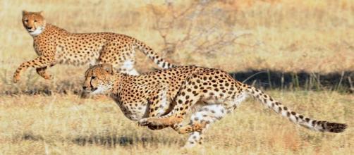 Por qué son tan rápidos los guepardos? - animalmascota.com