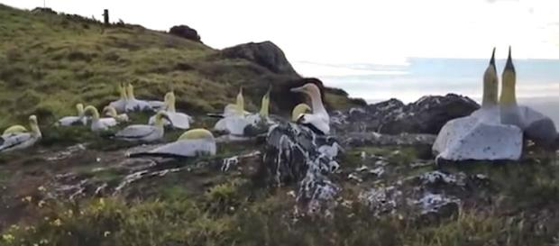 'No Mates Nigel' the world's loneliest gannet had died next to his concrete mate [Image: Guardian News/YouTube]