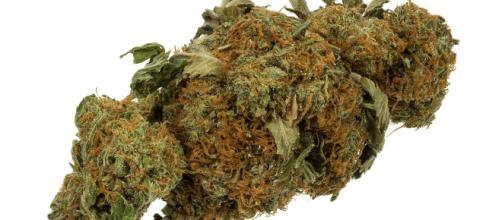 Legalized Marijuana almost nationally accepted. Photo courtesty of Evan-Amos via Wikimedia Commons