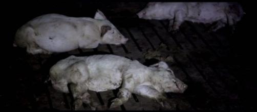 """""""Stranger Pigs"""", el programa de Salvados sobre la industria carnita en España"""