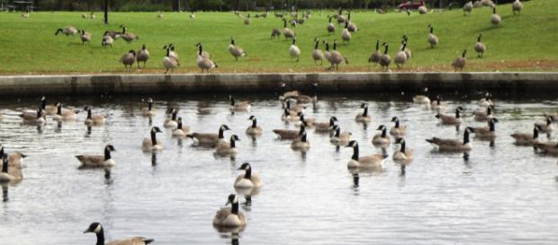 Billionaire businessman threatens lawsuit over Canada Geese poop. Image: [photo by Joan King]