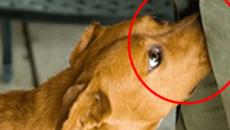 Essa é a razão pela qual os cães cheiram as partes privadas das pessoas