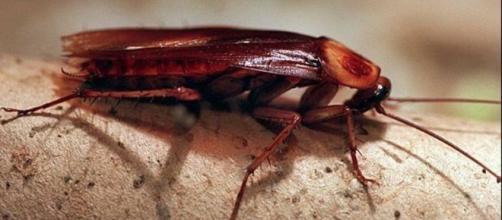 Cómo acabar con las cucarachas sin usar insecticida   elsalvador.com - elsalvador.com