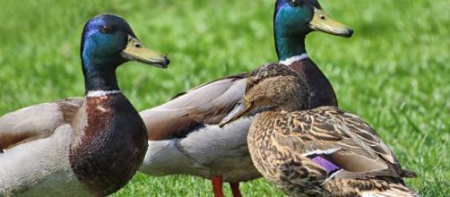 Los ánades reales se encuentran entre las especies de patos más abundantes y extendidas en el mundo