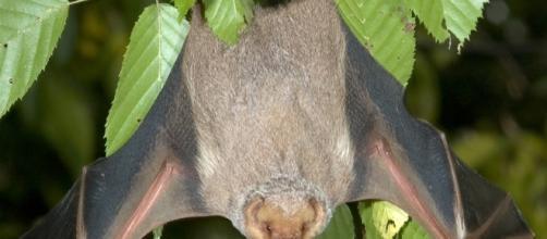 Los Murciélagos y la Polinización - Murciélagos Información y ... - batworlds.com