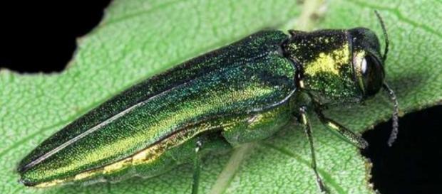 AdictaMente: Un pequeño insecto está matando millones de árboles - blogspot.com