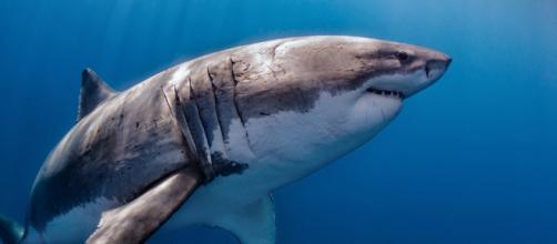 El Gran Tiburón Blanco (Carcharodon Carcharias) | Isla Guada… | Flickr - flickr.com