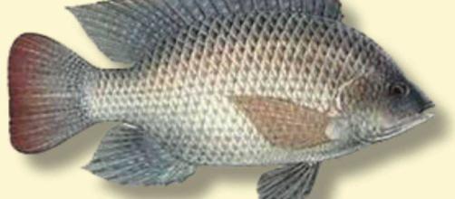 La Tilapia se ha convertido en un alimento básico para los mariscos en muchas mesas para cenar en todo el mundo.