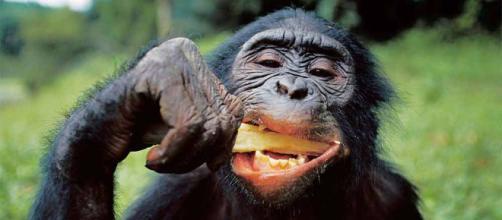 Pueden los grandes primates leer la mente? - Ciencia para tod@s - republica.com