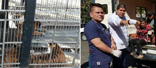 Mutilat pe viață! Un îngrijitor a fost atacat de tigrii pe care îi hrănea