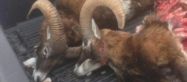 Un branco di lupi si è scatenato sull' Altopiano di Asiago