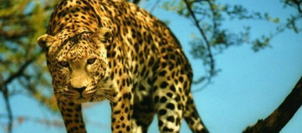 Un nuevo estudio ha confirmado que la última población reproductora de leopardos del mundo en Camboya está en riesgo inmediato de extinción