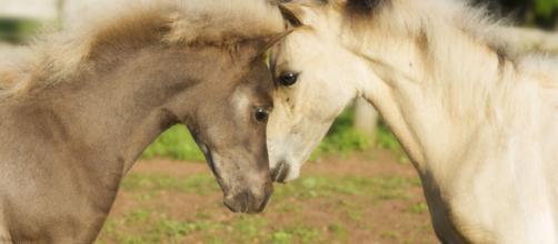 Fotografiando caballos miniatura – FotoSanmar - fotosanmar.com